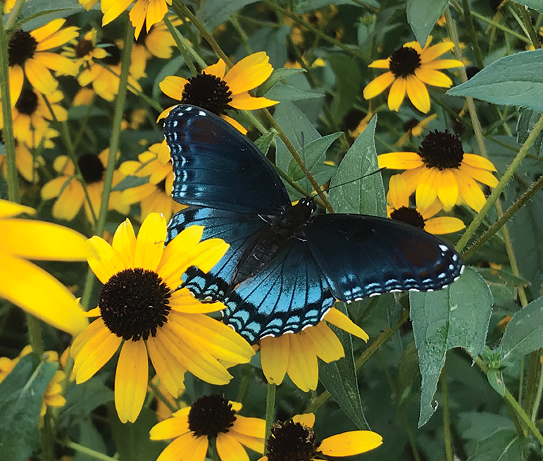 Closeup of blue butterfly on yellow flowers